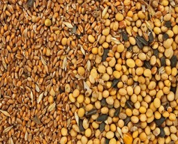 grains typically used for animal feed